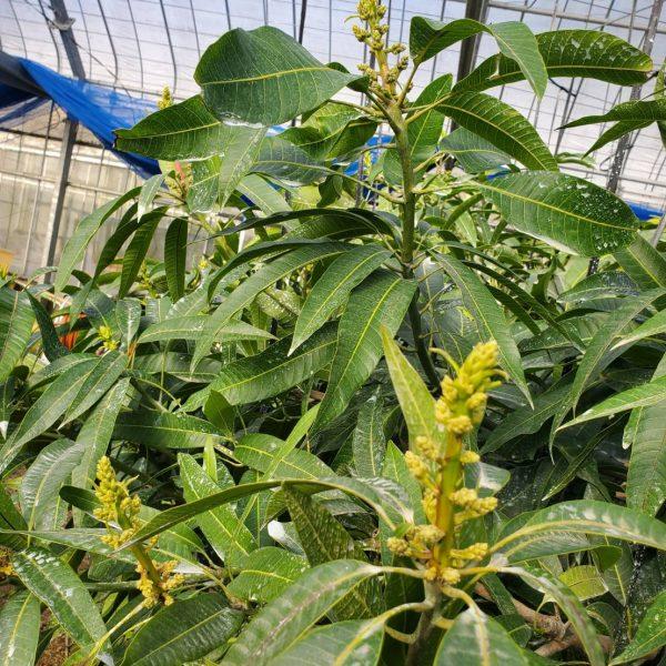 マンゴーの花芽1