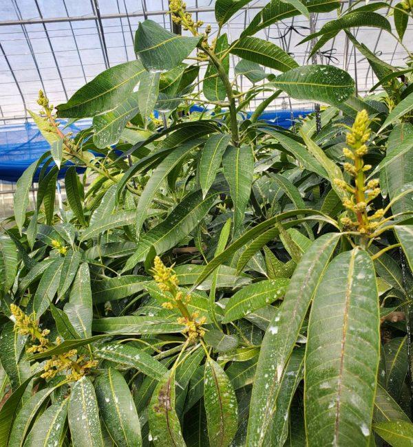 マンゴーの花芽2